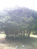1小豆島三笠山の不思議な木1