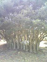 1小豆島三笠山の不思議な木2