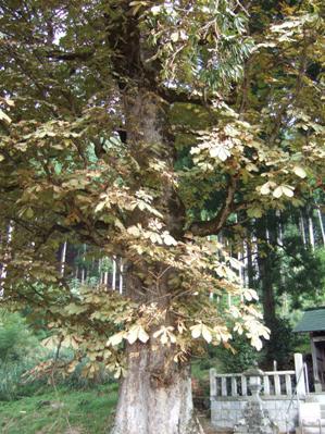北稲荷神社のトチ