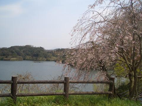 桜~!!残念~・・・