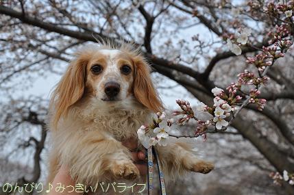 hanami20130302.jpg