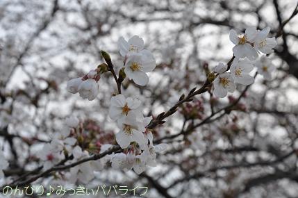 hanami20130305.jpg