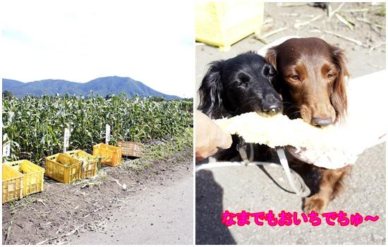 石田農園トウモロコシ