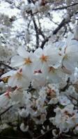 20130327 桜
