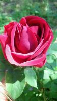 20130502 咲いたばかりの赤いバラ