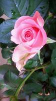 20130430 ピンクのバラ