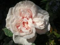 201305 淡いピンクのバラ