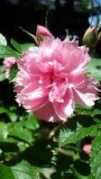 2013050 カーネーションのようなバラ