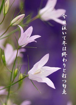 はるの花(Campanula 涼姫3月)今日泣いて