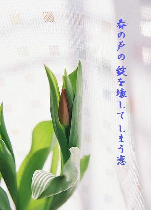 チューリップ(蕾)春の戸の