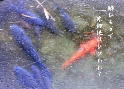 こい(凍った池)寒鯉