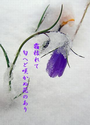 こうざんの花(雪)霜枯れて