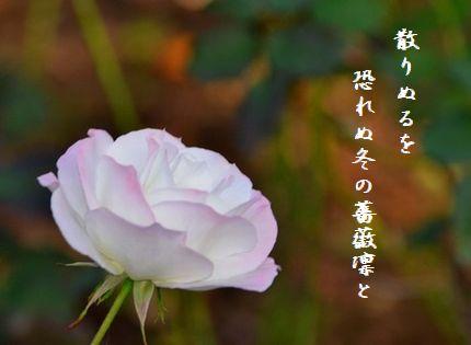 ふゆ薔薇4正散りぬるを