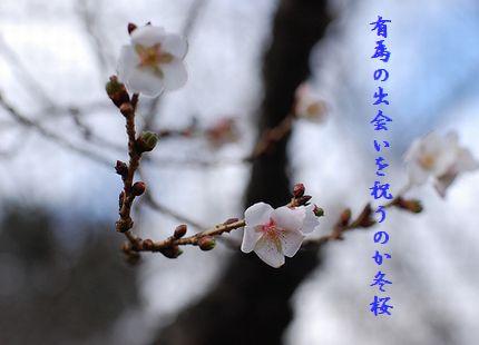 さくら(冬桜)有為の出会い