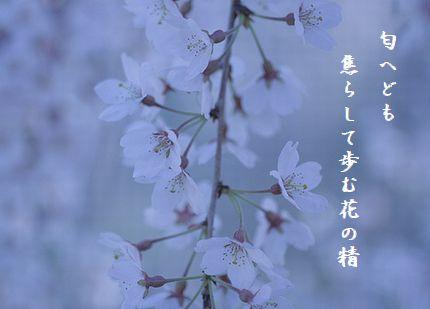 さくらうたかた花の精