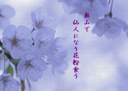 さくら(幻想)花粉食う