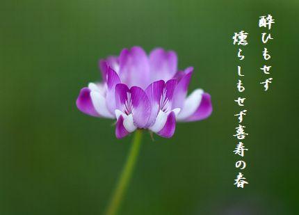 レンゲソウ喜寿の春