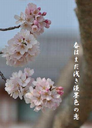 うすずみ桜2春はまだ