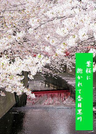 とうきょう目黒川2葉桜に