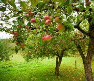 りんごの木小