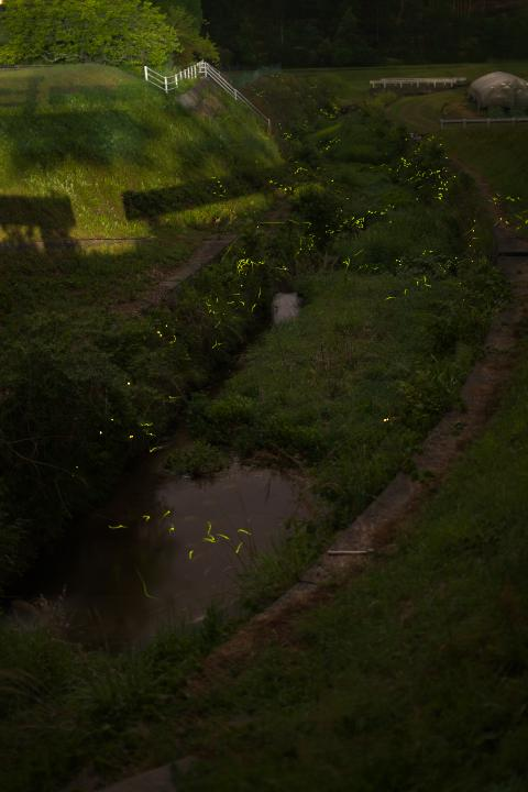 束荷川河川公園ホタル1