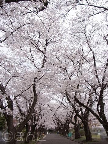 2013桜_4