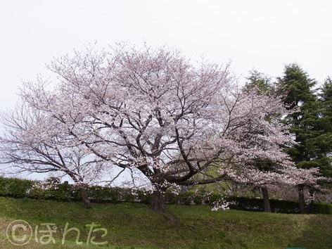 2013桜_3