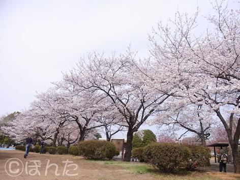 2013桜_1
