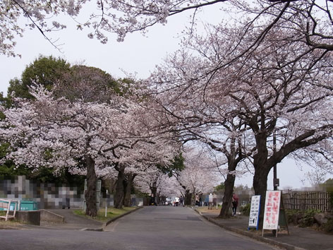 2013桜_5