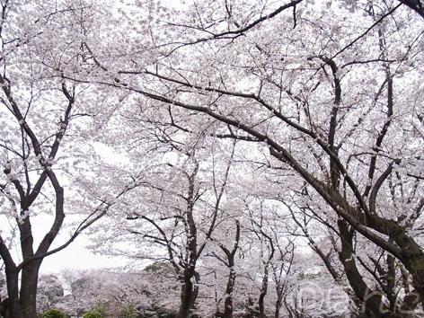 2013桜_2