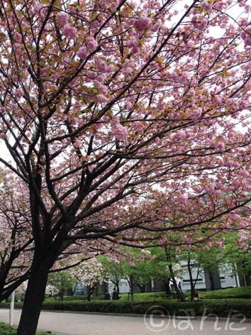 倉庫_桜3