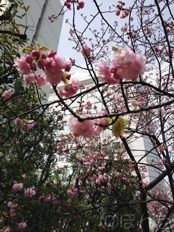 倉庫_桜1