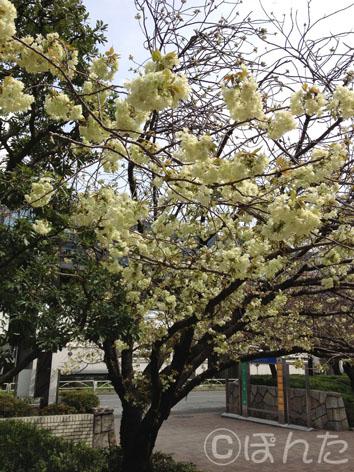 倉庫_桜2