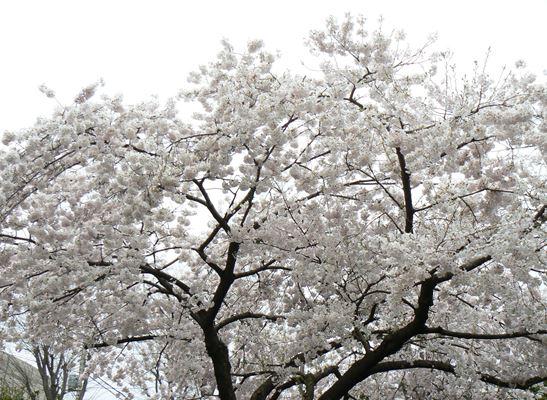 ポトマック桜250323