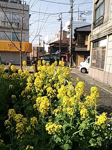2013菜の花