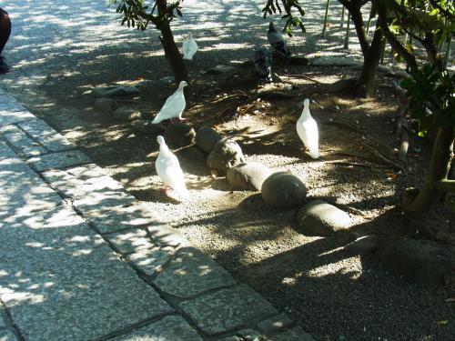 131013-016白い鳩(S)