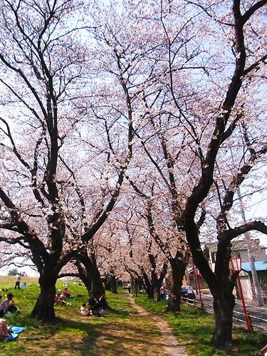 熊谷桜堤 (2)