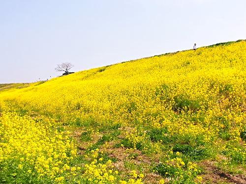 行田菜の花