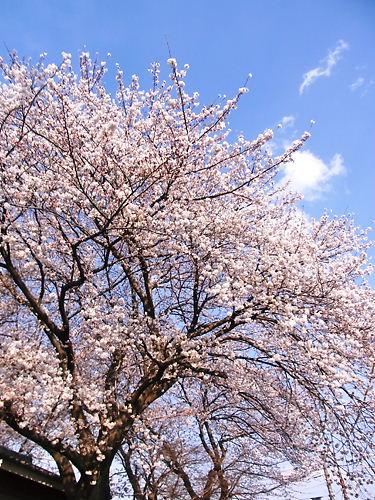 石戸蒲桜の隣の桜