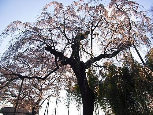 普門寺しだれ桜