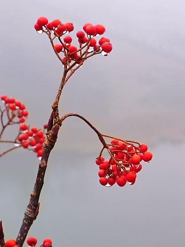 高山植物 (2)