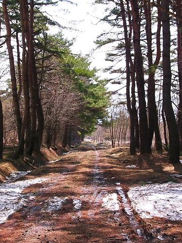 二本松街道松並木