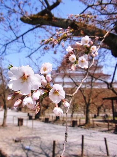 鶴ヶ城の桜2012