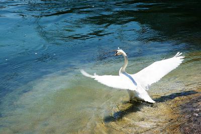 飛び立つ 白鳥 湖