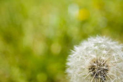 植物 タンポポ 自然