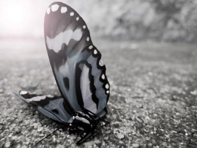 蝶 瀕死 地面 逆行 フォトショップ