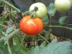 tomato_20120805172030.jpg