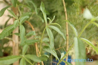 m-lemon verbena3