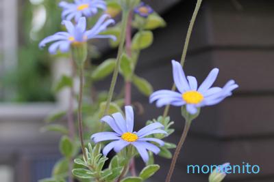 m-blue daisy