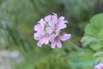 m-rose geranium